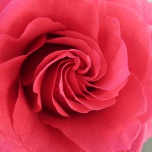 Spirale aurea in un fiore